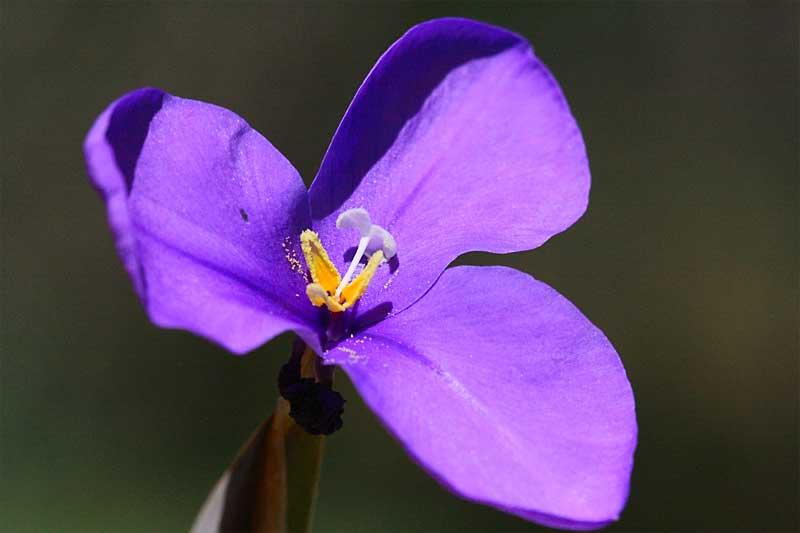 Wild flowers of Western Australia